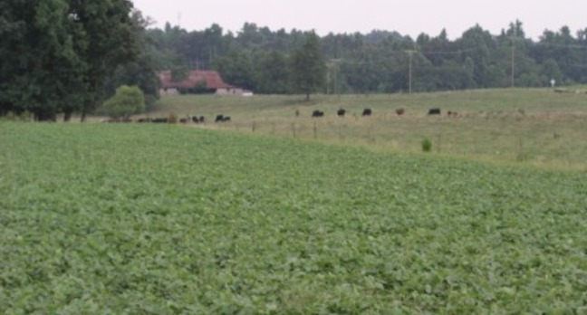 Cows in a North Carolina field