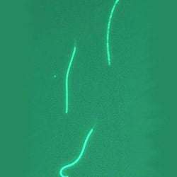 Hamster sperm expressing a fluorescent green protein