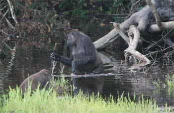 A gorilla tests the water with a stick