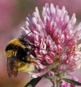 Facing extinction: the Great Yellow Bumblebee (Bombus distinguendus). Pic: The Bumblebee Conservation Trust