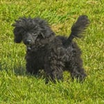 Harry the Rottweiler - aka small black poodle called Patsy