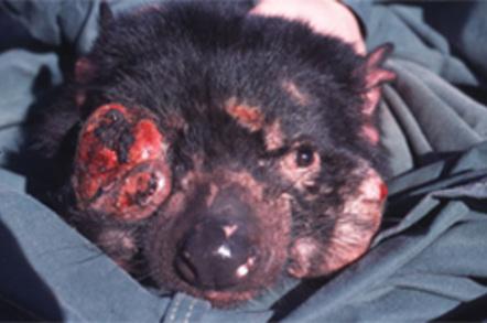 Tasmanian devil tumour