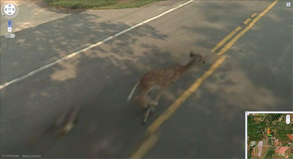 Street View vehicle closes on running deer