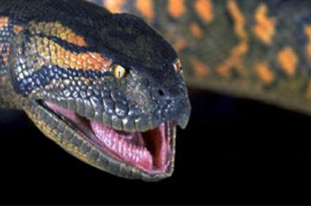 big goolies grabbing black snake nips unlucky bloke s trouser snake