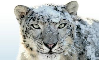 apple s windows xp moment os x snow leopard left to die u2022 the register rh theregister co uk Black Panther Jaguar Panthera