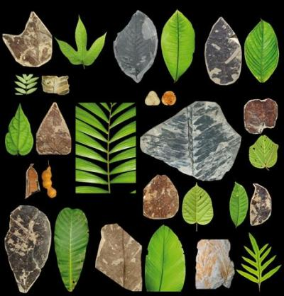 Paleocene fossil leaves look similar to those from modern rainforests. Credit: PNAS