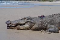 A croc bugged by Steve Irwin. Credit: Australia Zoo