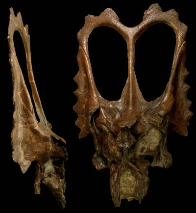 The skull of Mojoceratops perifania. Credit: Yale