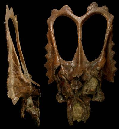 The skull of Mojoceratops perifania. Credit: Yale