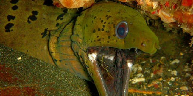 Eel (Moray with shrimp in mouth)