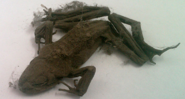 Mummified frog found inside PC