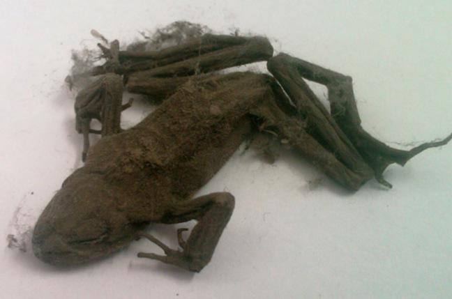 Mummified frog found inside PC