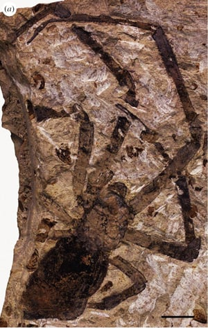 The fossilised Nephila jurassica. Pic: Paul Selden et al