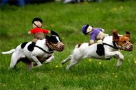 jack russells racing with knitted 'jockeys' on their backs