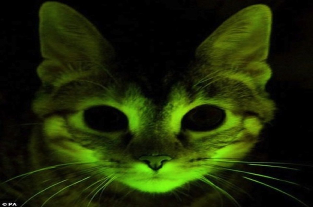 glow in the dark cat Where can i buy a glowing cat not a troll where can i obtain a glowing cat after watching weird, freaky, and true  to glow in the dark,.