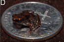 Frog on dime, credit Rittmeyer et al, journal PlosONE