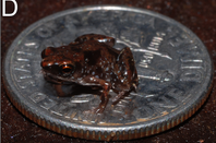 Frog on dime, credit Rittmeyer et al, journal PlosONE