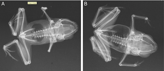 Frog xray, credit Rittmeyer et al, journal PlosONE
