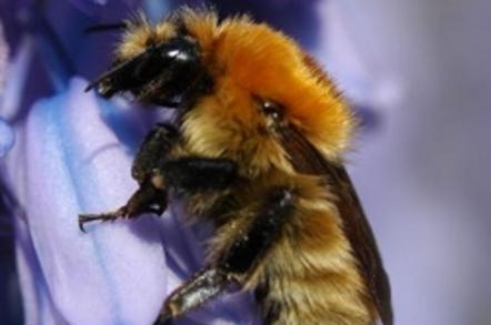 A moss carder bumblebee