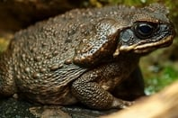 Bufo marinus (aka Cane Toad) - a regular four-legged version