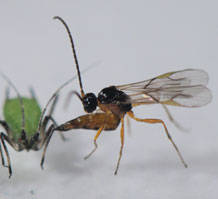 Parasitic wasp attacks aphid