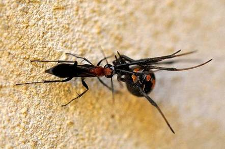 A nigricornis was having killed a redback spider. Credit: Florian and Peter Irwin