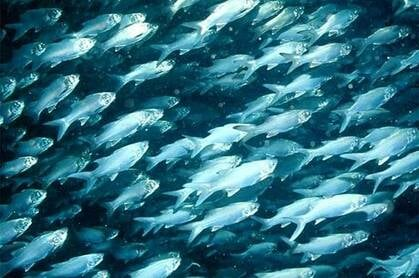 School of six finger threadfin fish