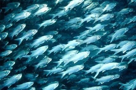 School of six finger threadfin fish