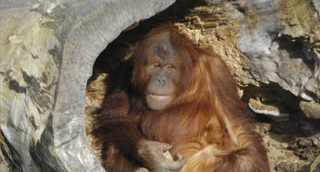 Orangutan at Chester Zoo