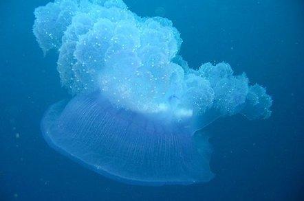 Cnidaria jellyfish