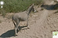 Donkey alive and well on Street View