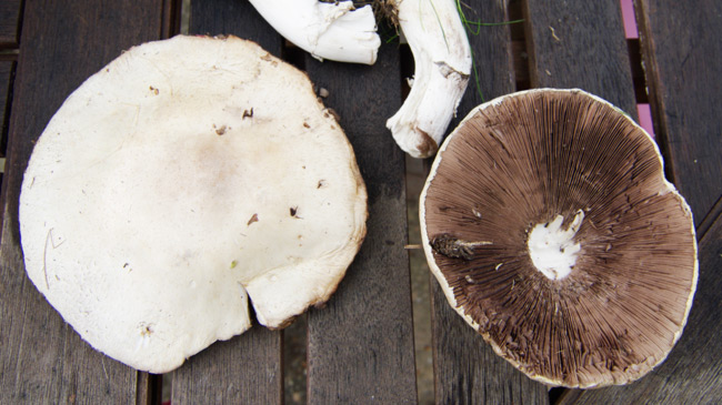 A couple of field mushrooms