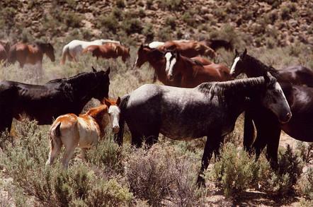 Herd of horses in Nevada