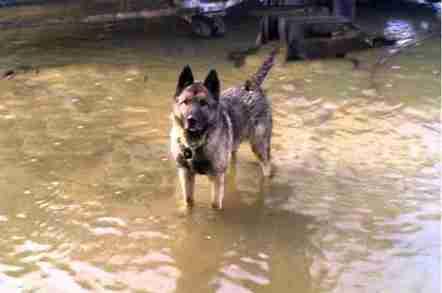 German shepherd guard dog standing in flood water