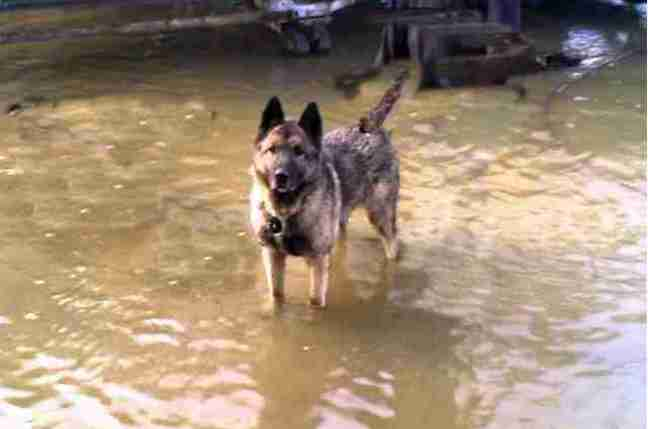 German shepherd guard dog standing in flood water