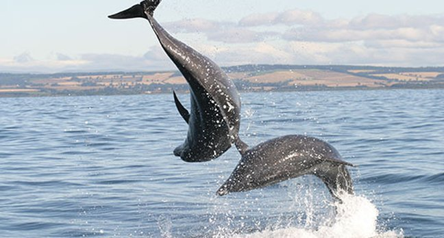Dolphins play in the water