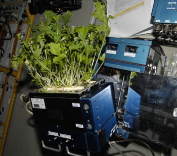 Mizuna lettuce being grown on the ISS