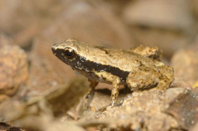 Gardiner S Frog