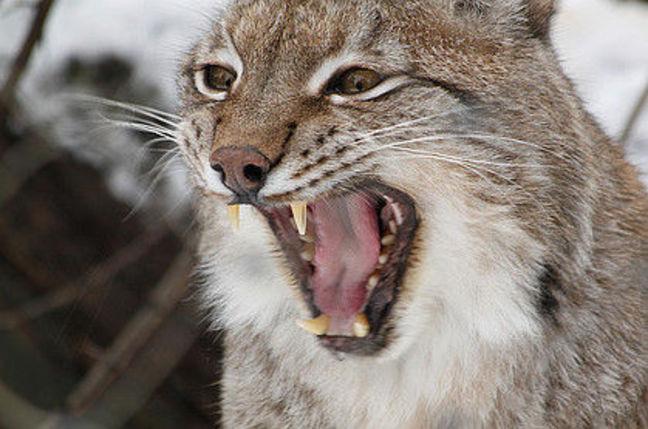 Roaring lynx