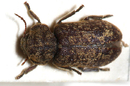 Death Watch Beetle