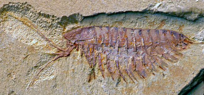 A fossil of the megacheiran Leanchoilia illecebrosa, showing its characteristic forceps-like great appendages