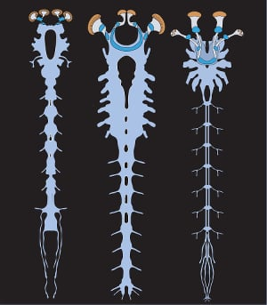 Illustration of the nervous systems of the Alalcomenaeus fossil (left), a larval horseshoe crab (middle) and a scorpion (right)Water spider nervous system compared