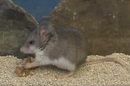 Mouse eats scorpion = still of video