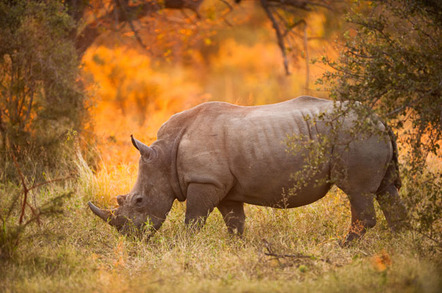 Rhinoceros in late afternoon, Kruger National Park. Credit: Shutterstock