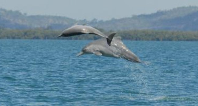 New humpback dolphin species