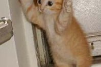 Tiny ginger kitten puts its paws up in the manner of a person being arrested.