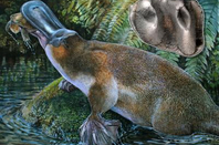 New platypus species Obdurodon tharalkooschild, with a close-up of its tooth