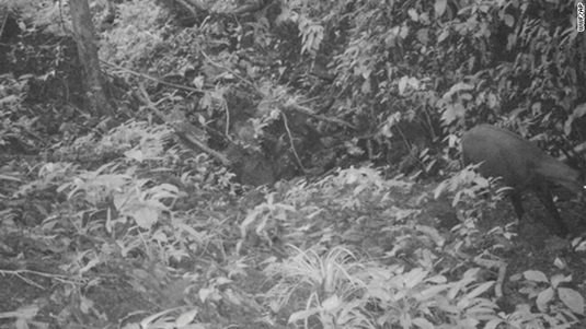 Saola mammal spotted in Vietnam
