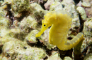 A yellow female kuda seahorse