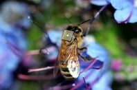 Bee with sensor attached
